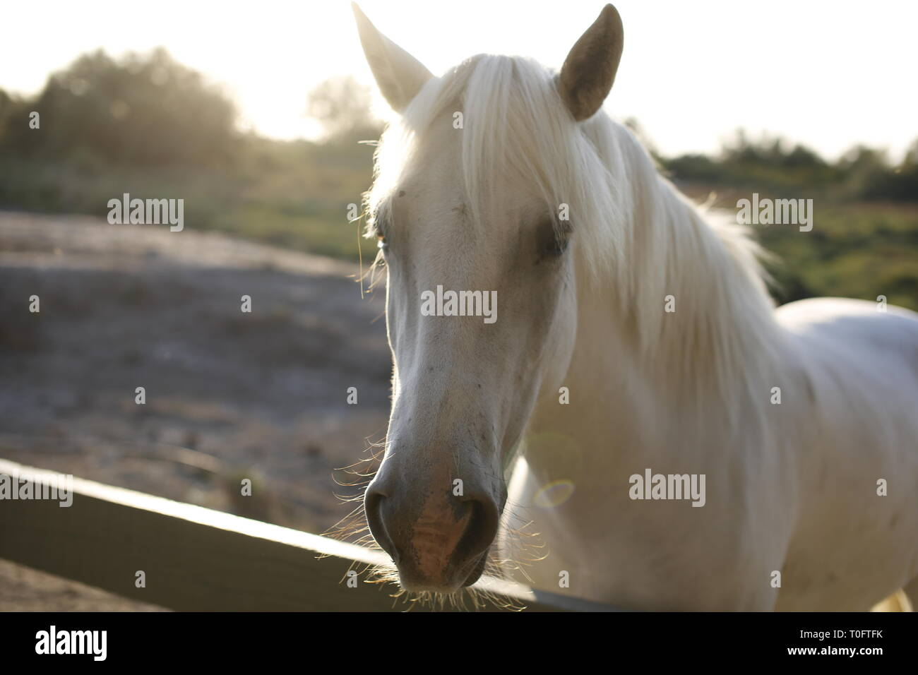 Close up of beautiful white long maned Carmargue horse looking over a fence at sunset - Stock Image