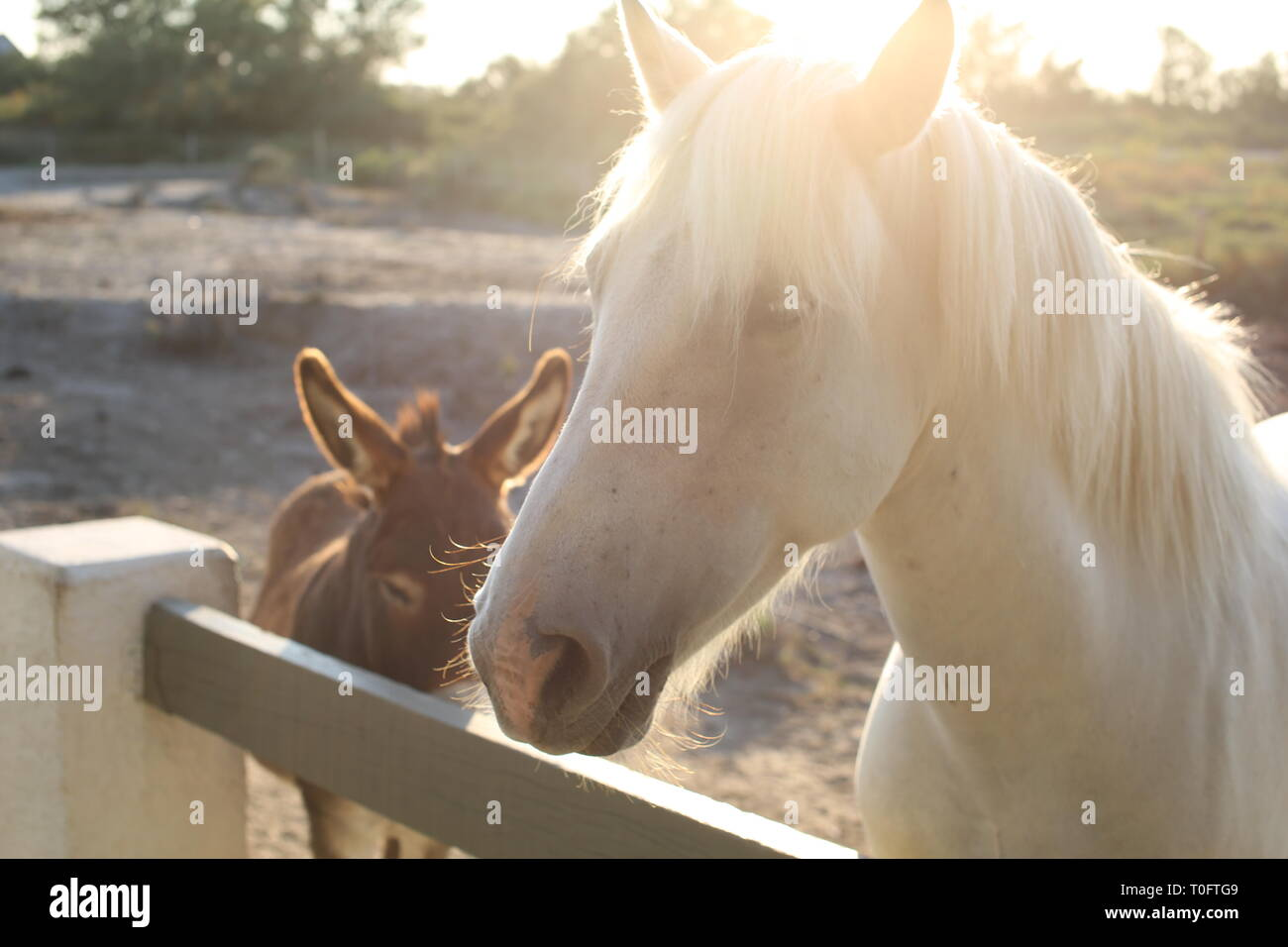 Beautiful white Carmargue horse with long mane waits at fence with donkey as sun is setting - Stock Image