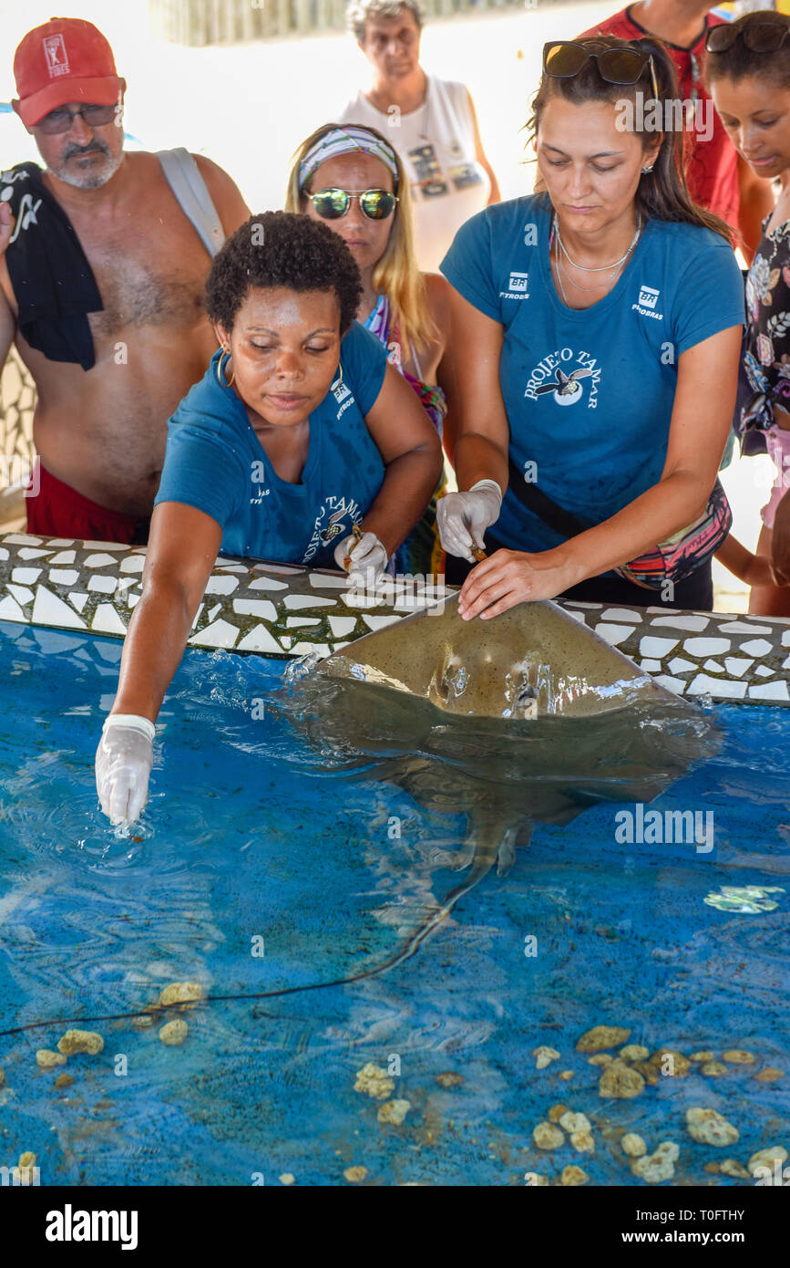 Praia do Forte, Brazil - 31 January 2019: woman who feeds the breed fish on Project Tamar tank at Praia do Forte in Brazil - Stock Image