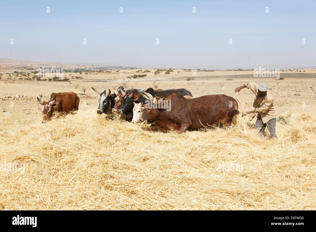 Addis Abeba, Ethiopia, February 22 2015 : Ethiopian farmer using his cows for threshing harvest - Stock Image