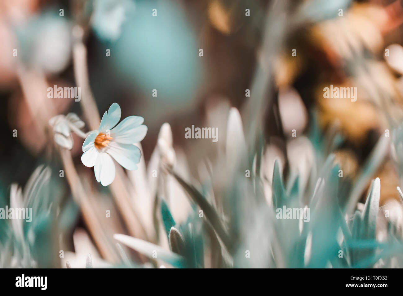 Vintage spring floral blurred background, natural first flowers primroses in grass - Stock Image