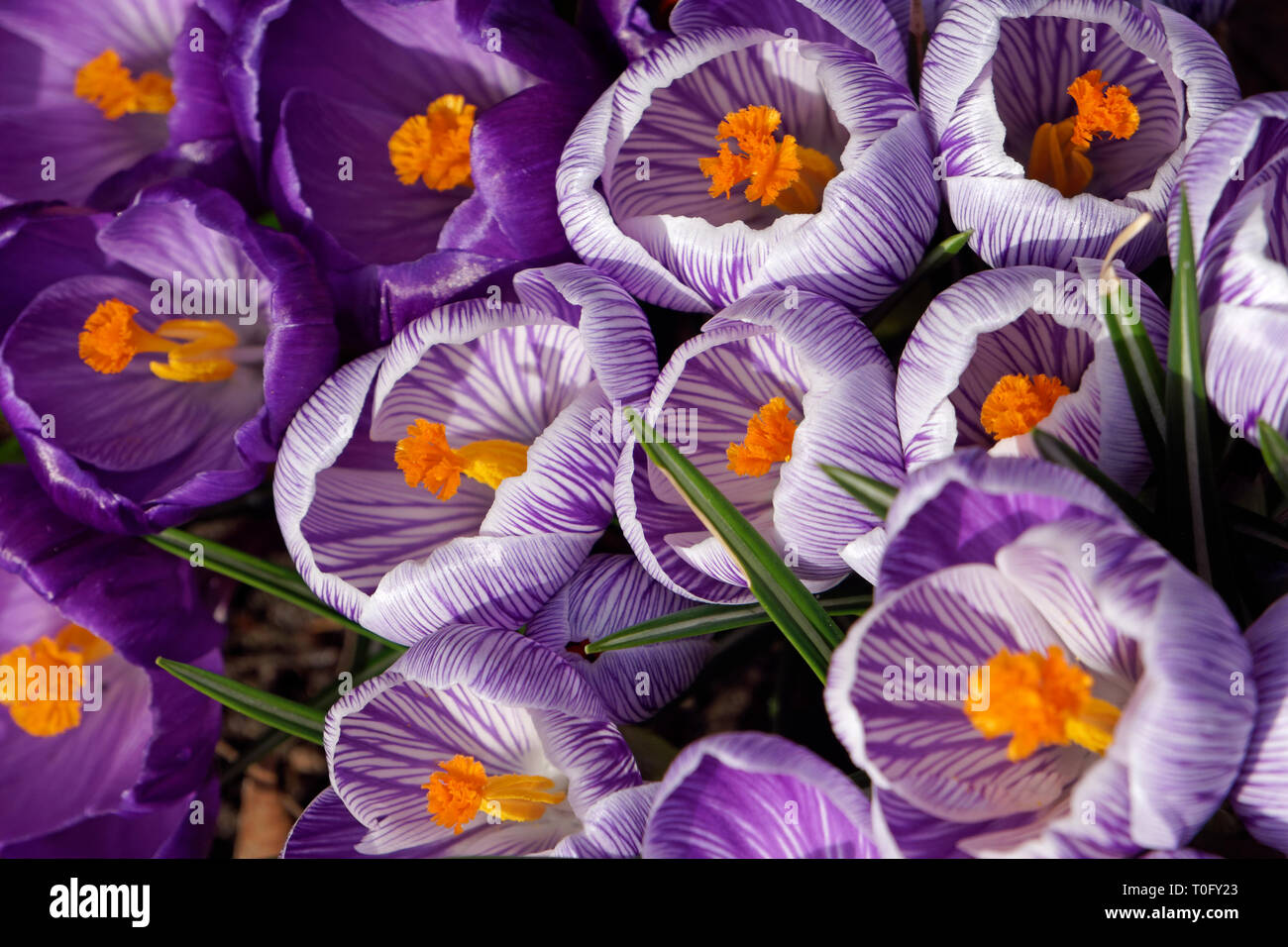 Closeup of crocuses blooming in spring, Vancouver, BC, Canada - Stock Image