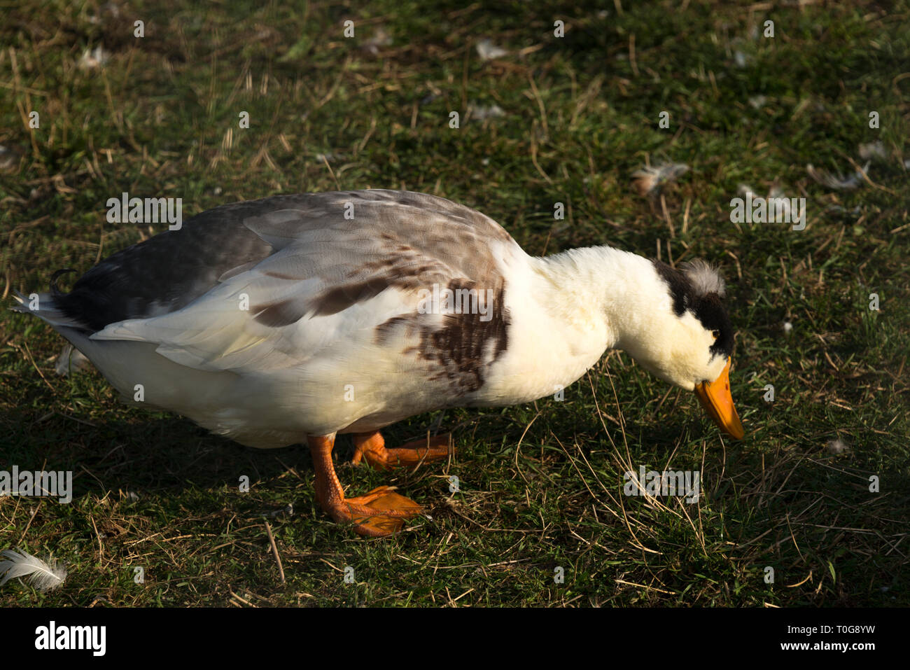 Domestic Duck (Anas platyrhynchos domesticus) - Stock Image