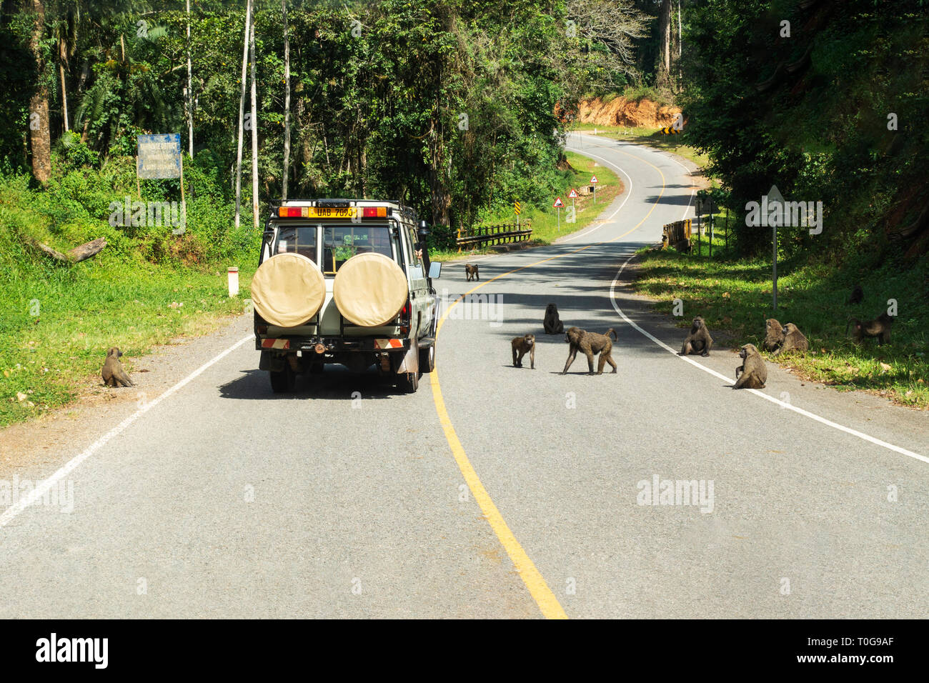 A passing tourist vehicle attracts a troupe of olive baboons (Papio anubis) in Kibale Forest National Park, South West Uganda, East Africa - Stock Image