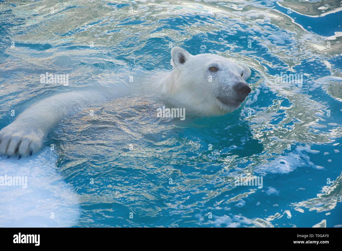 Big polar bear is swimming in the water. Ursus maritimus or Thalarctos Maritimus. Animals in wildlife. - Stock Image
