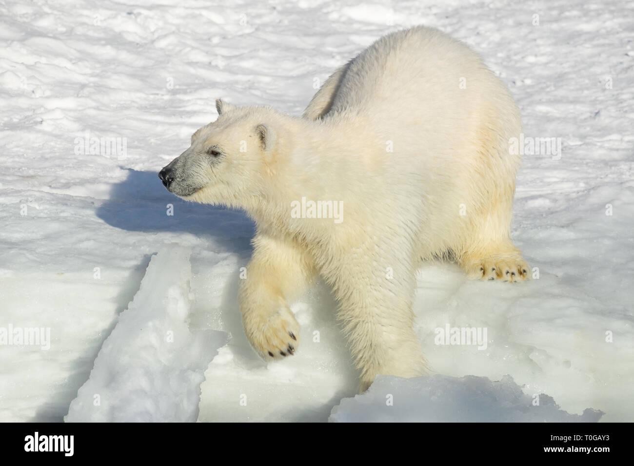 Polar bear cub by the seaside. Ursus maritimus or Thalarctos Maritimus. Animals in wildlife. - Stock Image
