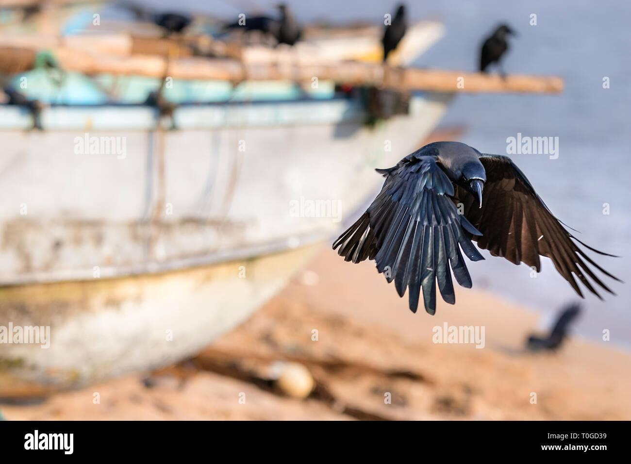 A black raven bird landing in the beach in Galle, Sri Lanka. - Stock Image