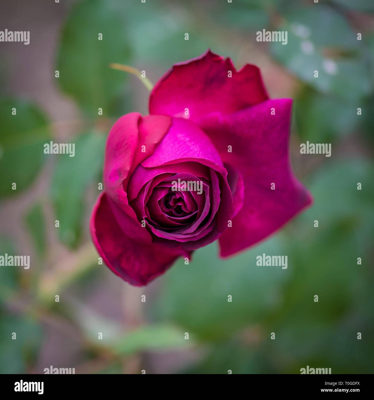English rose in Wakehurst Wild Botanic Gardens, United Kingdom - Stock Image