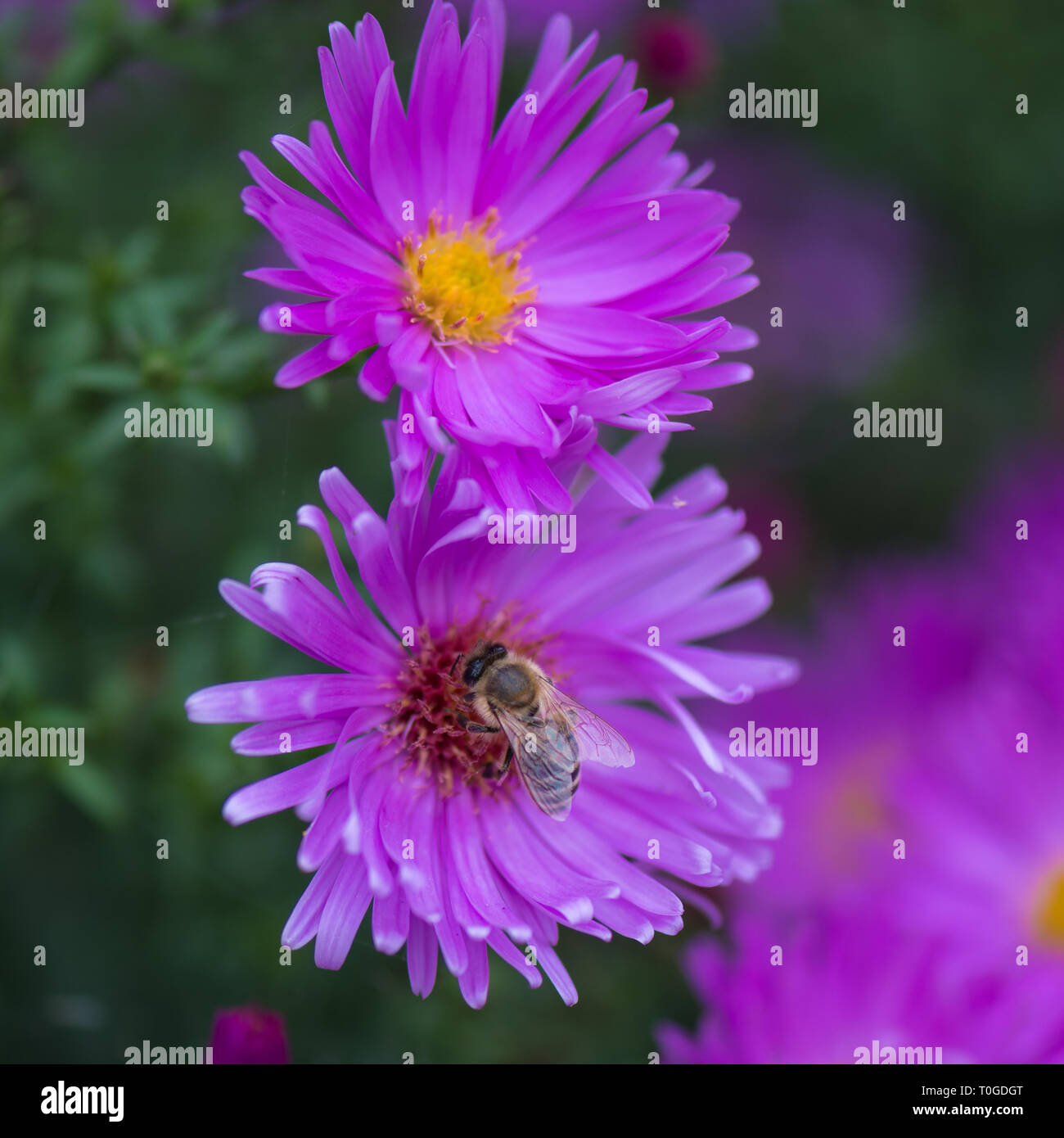 Aster amellus, perennial flowering plants in the family Asteraceae and pollinating honey bee in Wakehurst Wild Botanic Garden, United Kingdom - Stock Image