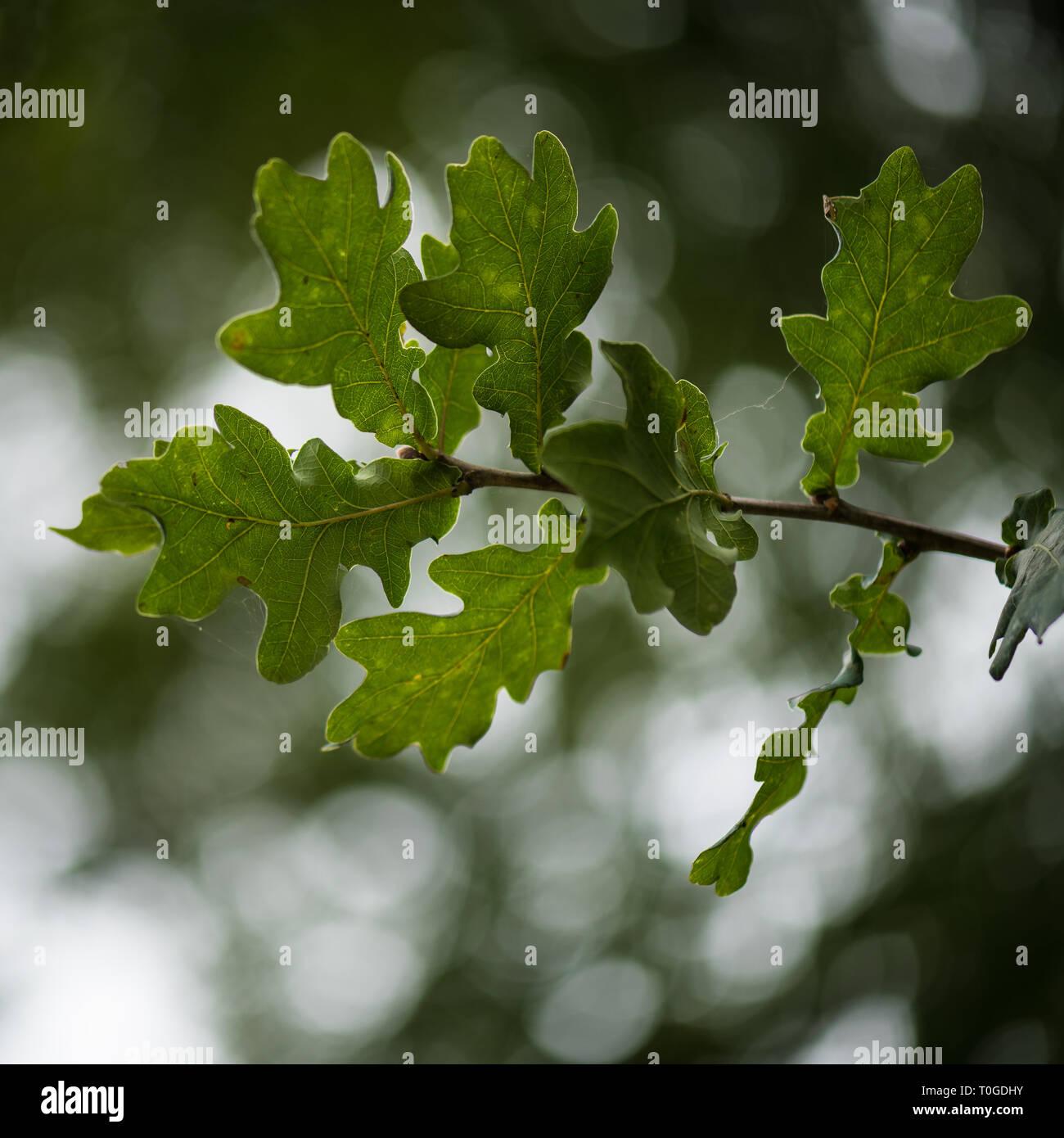 Details of oak tree leaf - Stock Image