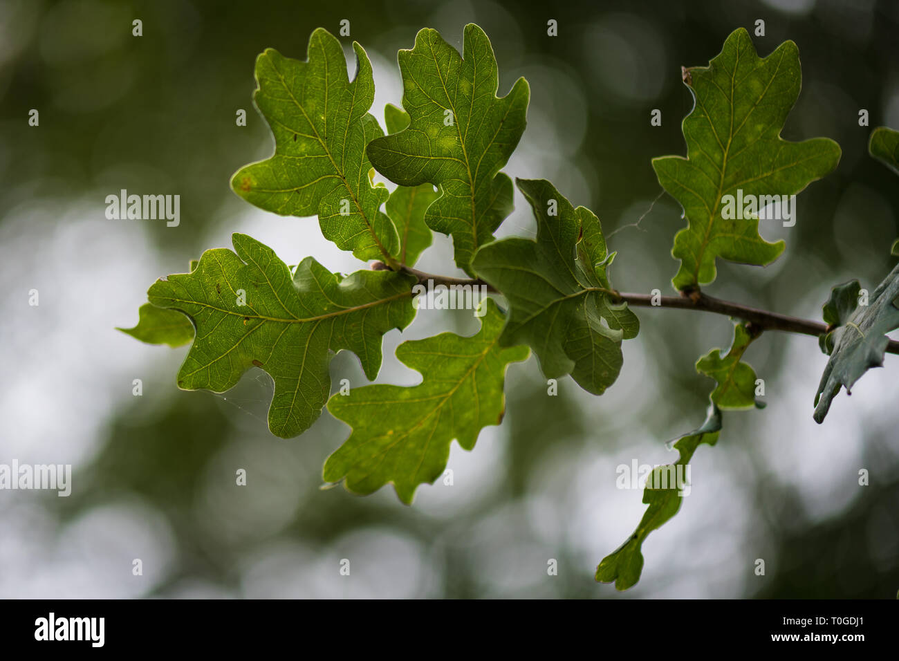 Details of oak tree leaf Stock Photo