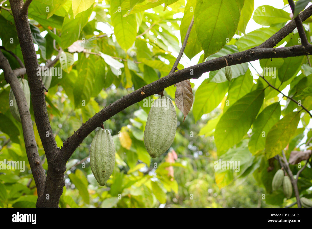Cocoa Trees Stock Photos Amp Cocoa Trees Stock Images Alamy