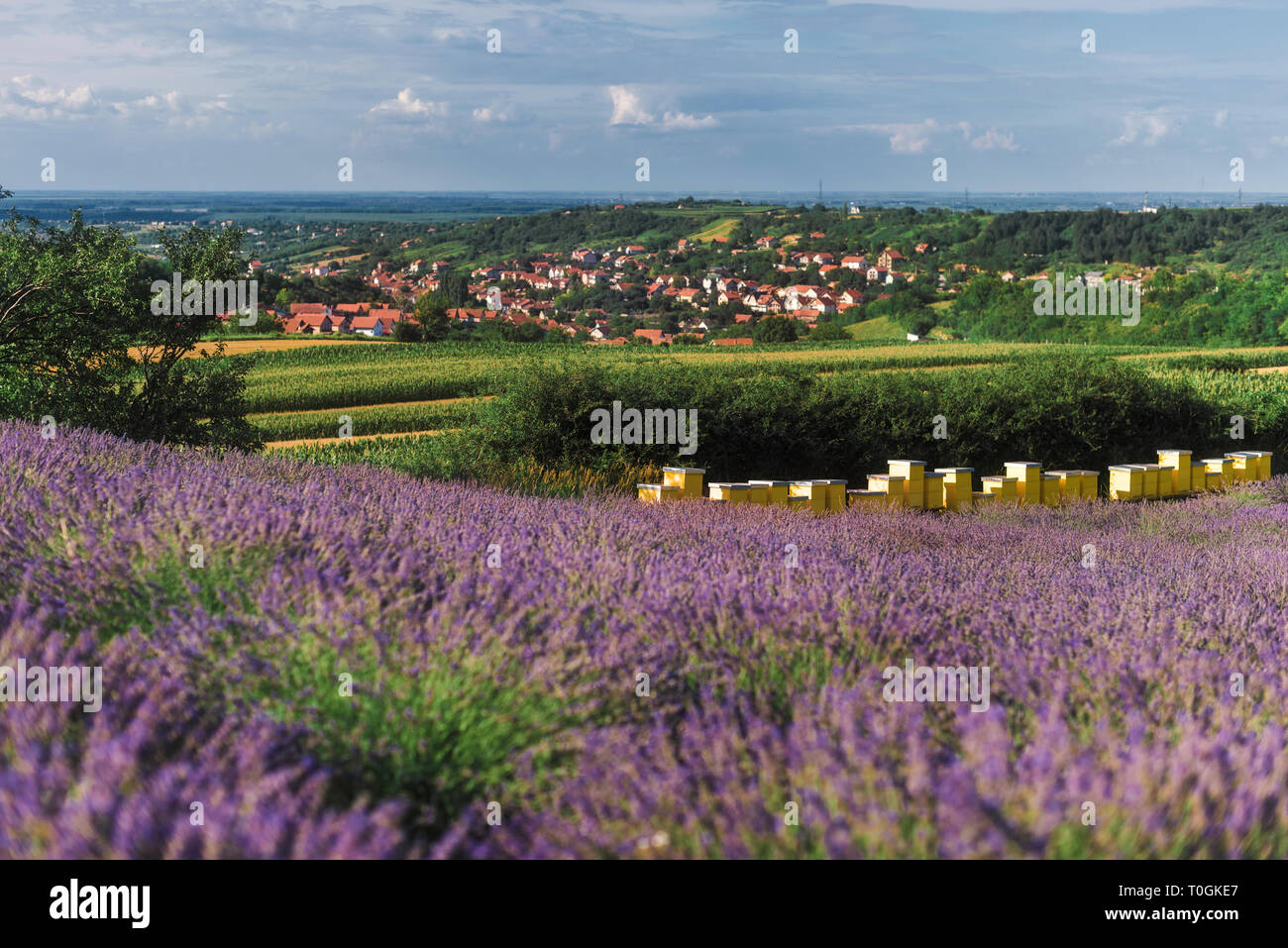 Apiary on Blooming Lavender Field - Stock Image
