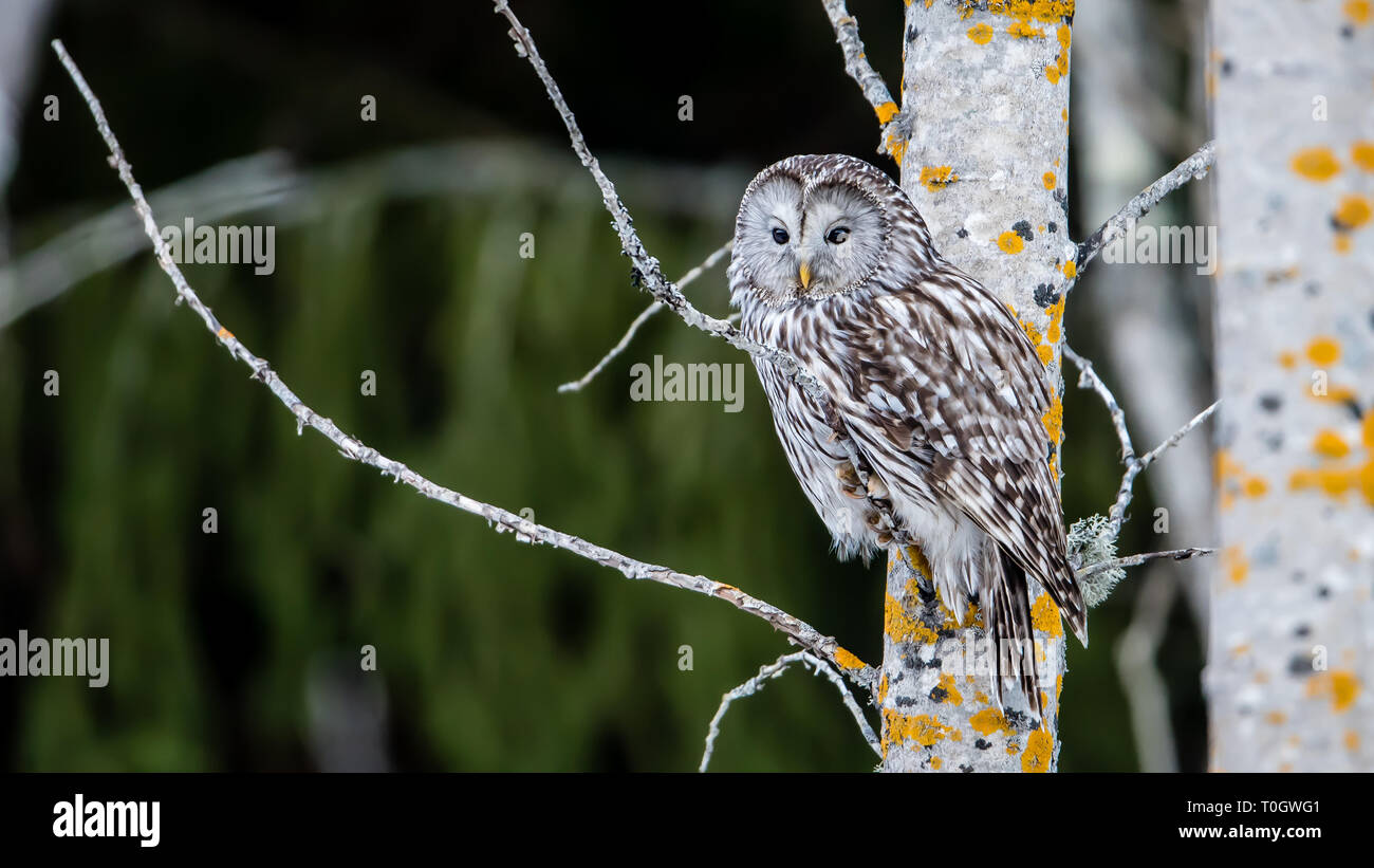 Ural owl (Strix uralensis) perching on an aspen twig with a defocused background Stock Photo