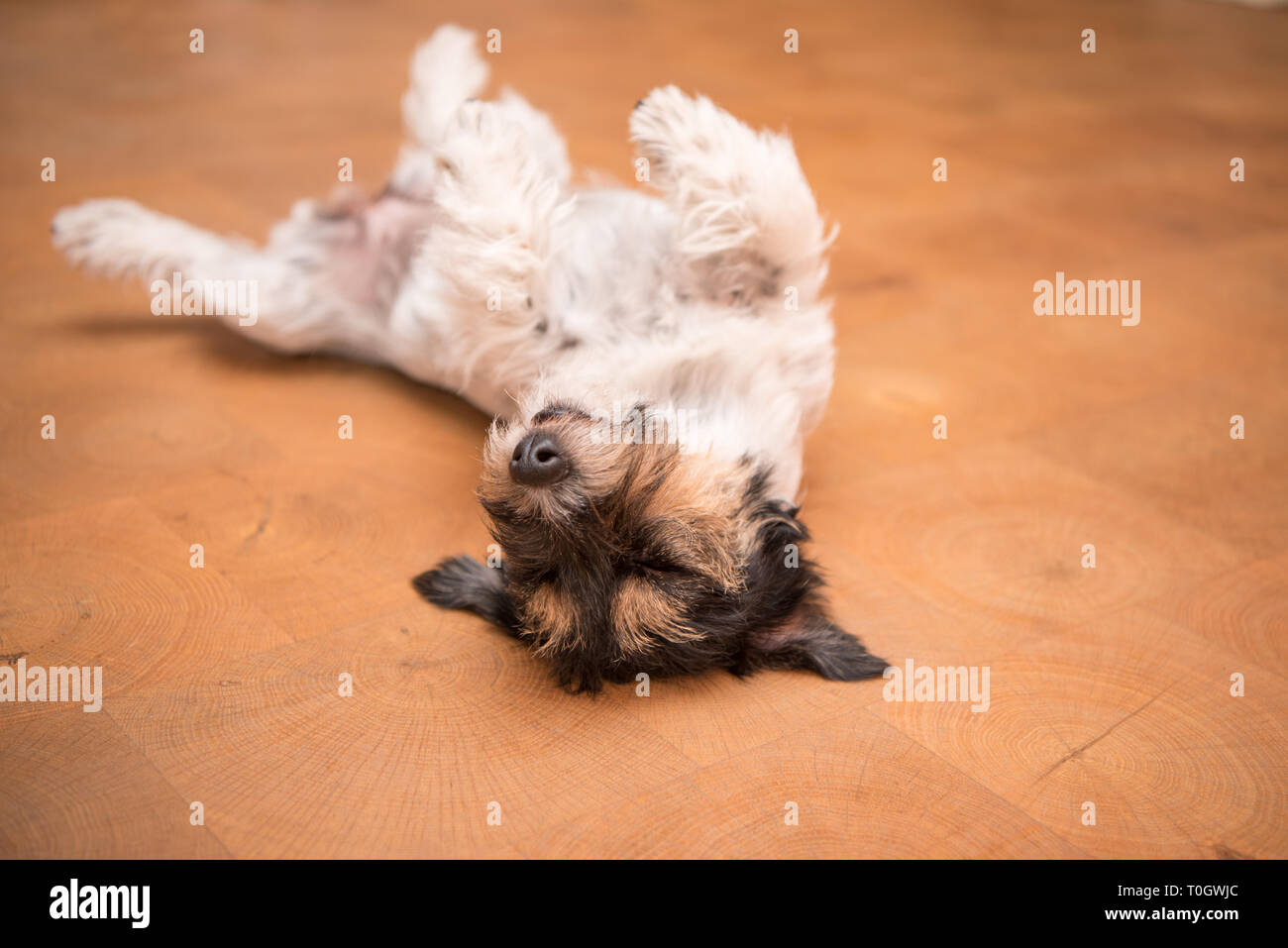Dog laying upside down on back. Naughty Jack Russell Terrier hound - Stock Image