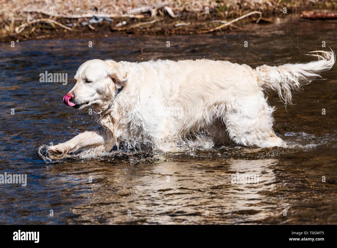 Platinum colored Golden Retriever dog playing in the South Arkansas River, Salida, Colorado, USA - Stock Image