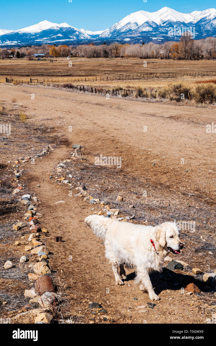 Platinum colored Golden Retriever dog running on a central Colorado Ranch; snow capped Rocky Mountains beyond; USA - Stock Image
