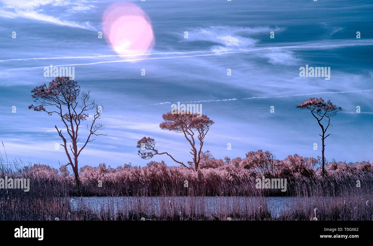 Three trees in a swamp on the outer banks of North Carolina photographed in infrared - Stock Image