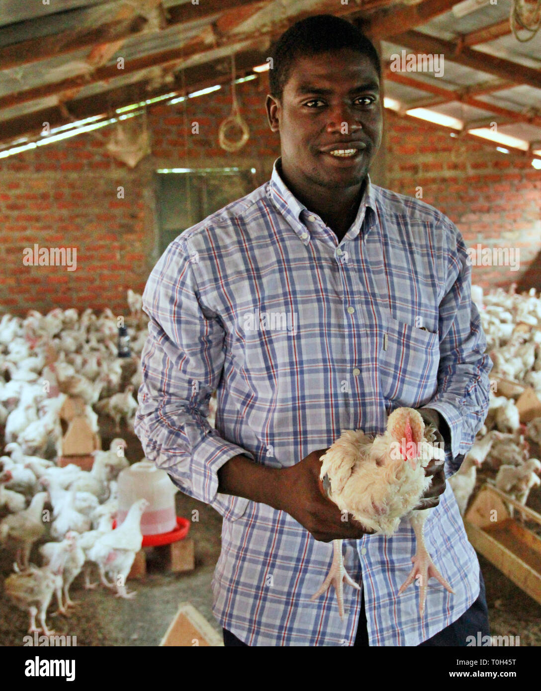 breeder of african chickens - Stock Image