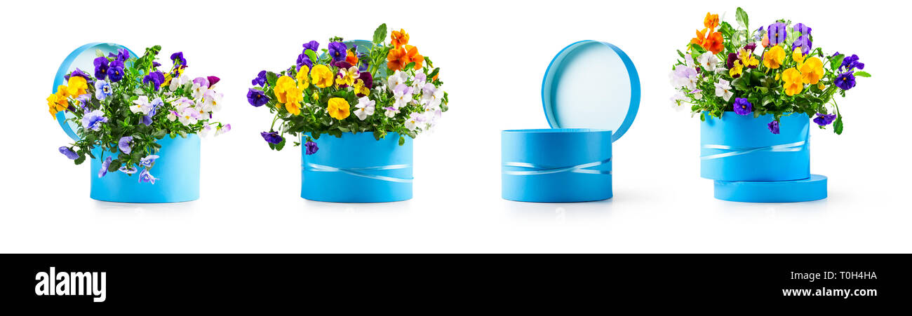 Blue gift box with pansy flowers collection isolated on white background. Spring garden viola tricolor design elements banner as holiday present, east Stock Photo