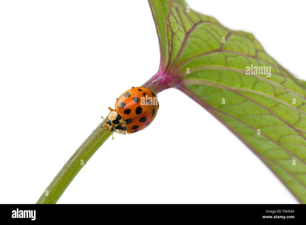 Ladybug on a stem of a plant at white background close up Stock Photo