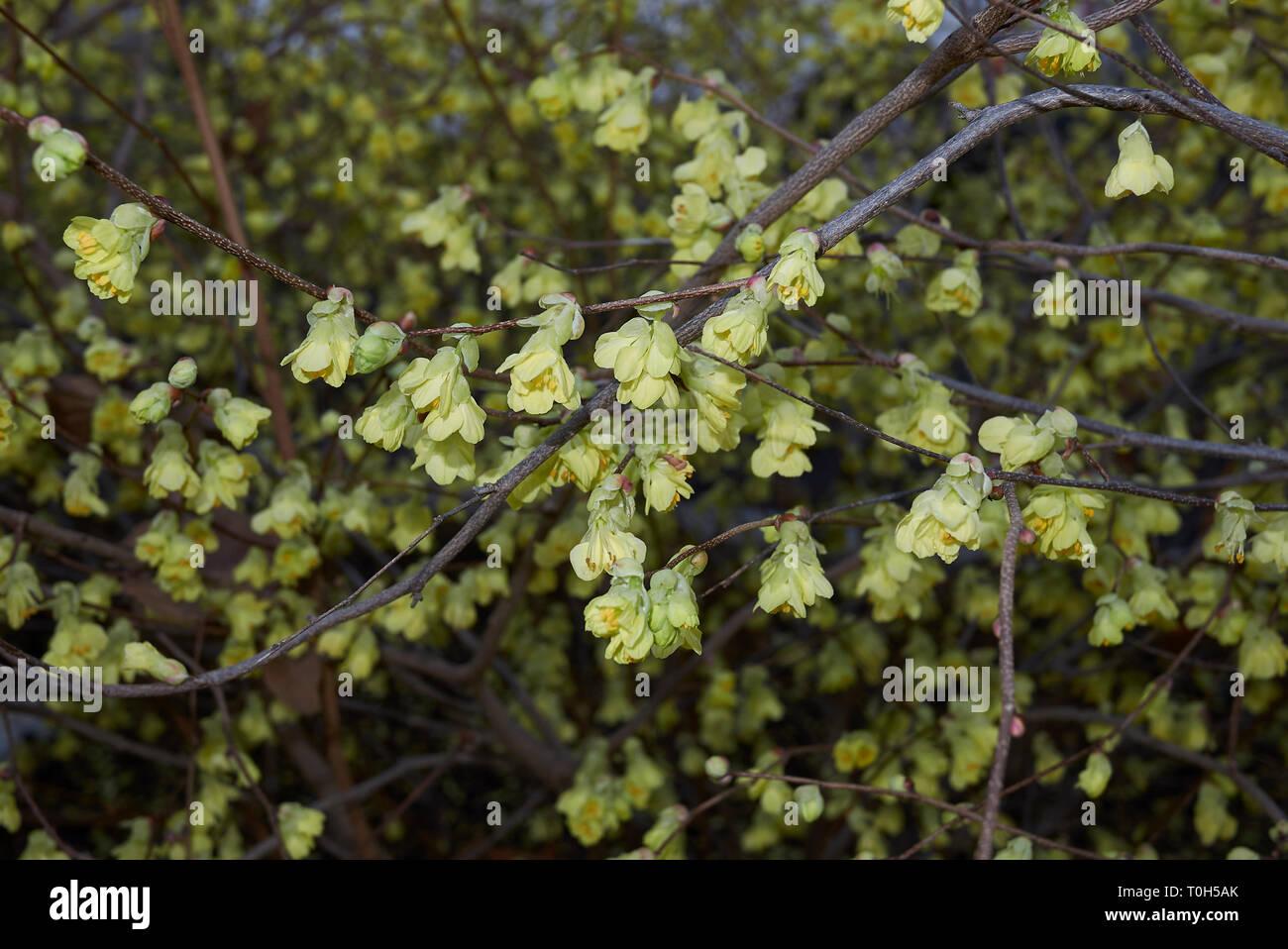 yellow flowers of Corylopsis pauciflora shrub - Stock Image