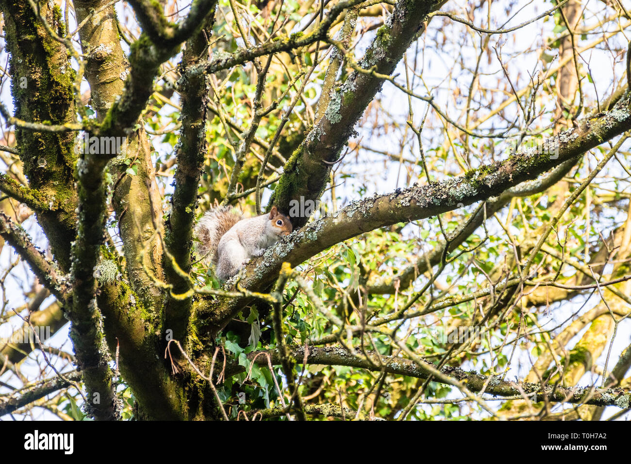 The invasive grey squirrel Sciurus carolinensis on a tree branch close to the top of the trunk. The tree shows growths of moss lichen and ivy. Stock Photo