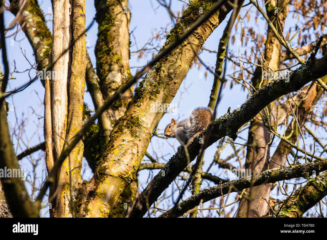 The invasive grey squirrel Sciurus carolinensis on a tree branch with moss and lichen looking down Stock Photo