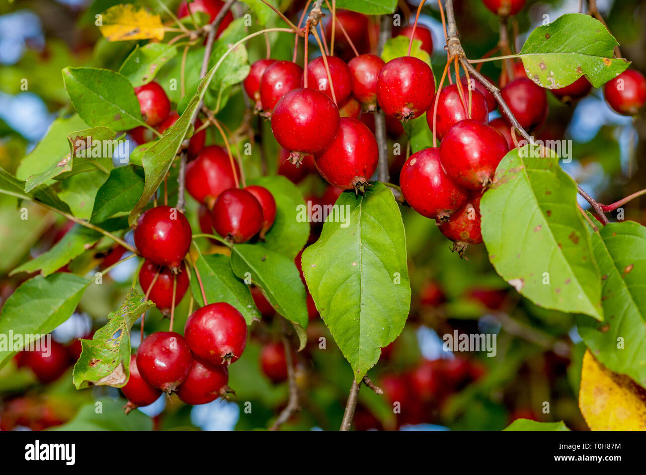 Ripe, red crabapples, crab apples, Malus, hang on an apple tree in orchard in New Hampshire, USA. Stock Photo