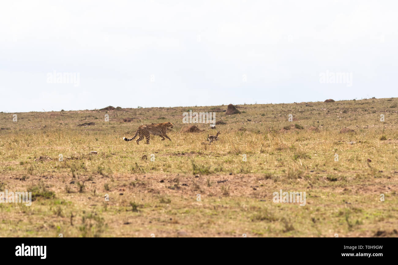The game of cat and mouse with the loot. A cat is always a cat. Masai Mara, Kenya Stock Photo