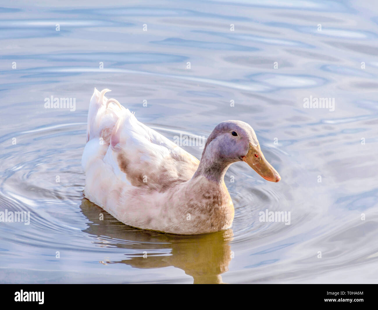 Duck in a Pond - Stock Image