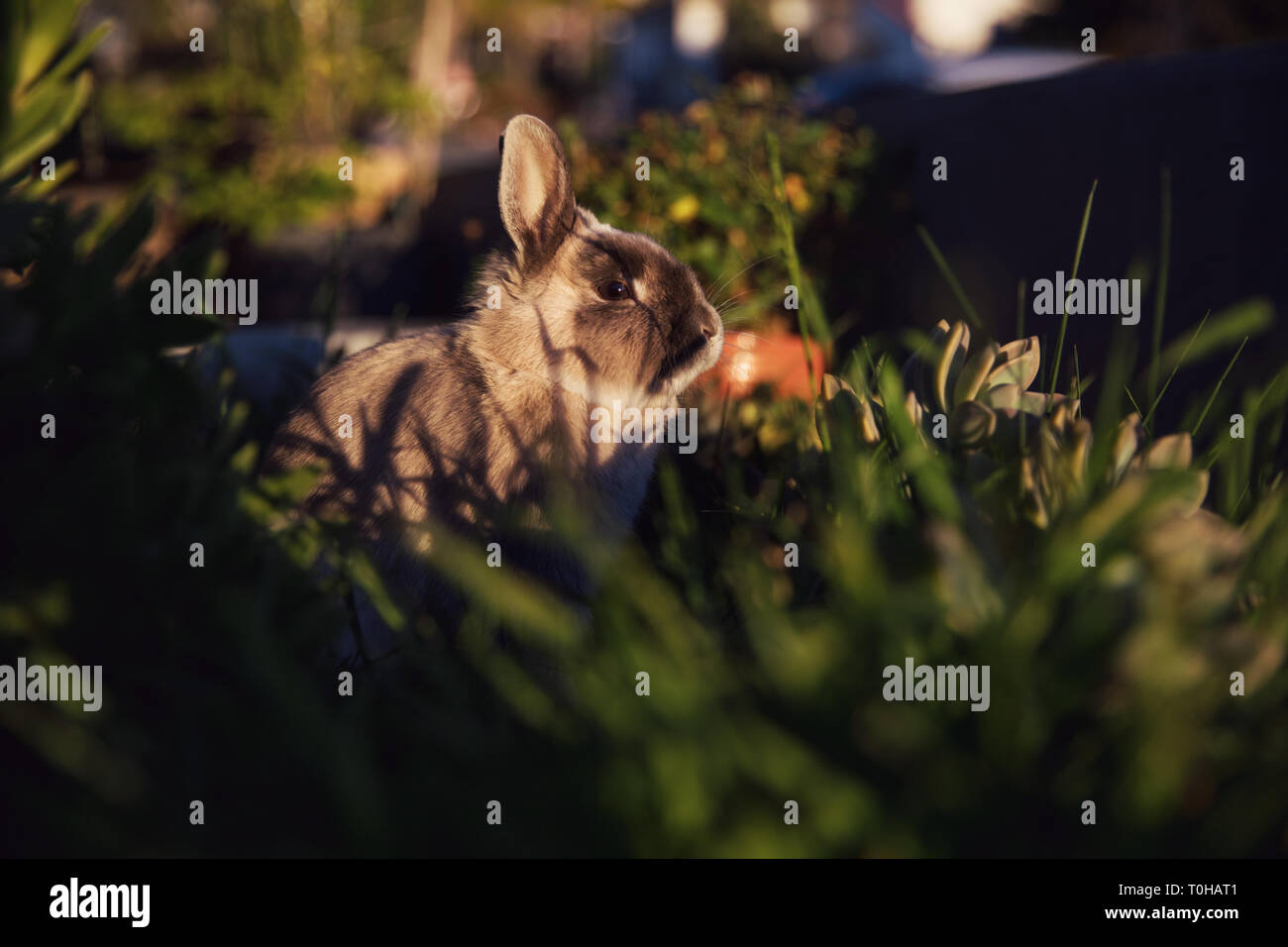 A moody portait of a dwarf bunny basking in the late afternoon sun in a grassy garden. Stock Photo
