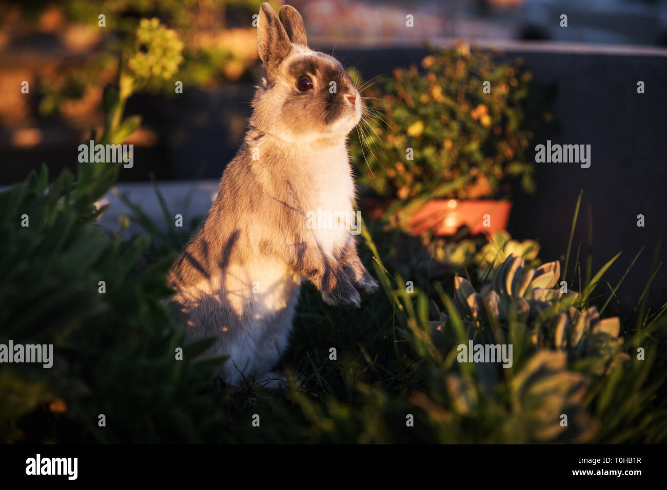 A brown and gray dwarf bunny standing on his hind legs in a garden, looking statuesque and turning toward camera. Stock Photo