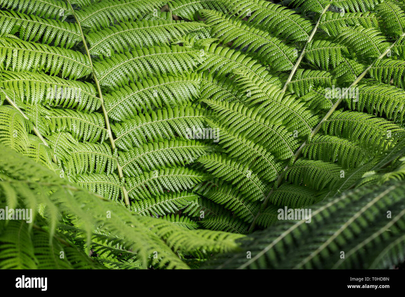 Close-up of fresh, lush and green ferns leaves on a sunny day, full frame natural background. Stock Photo