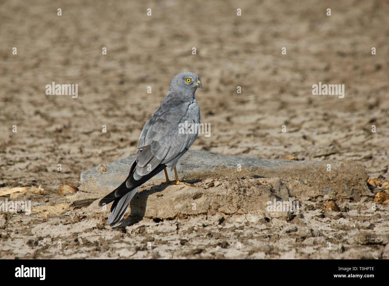 Montagu Harrier bird, Great Rann of Kutch, Kutch, Gujarat, India, Asia - Stock Image