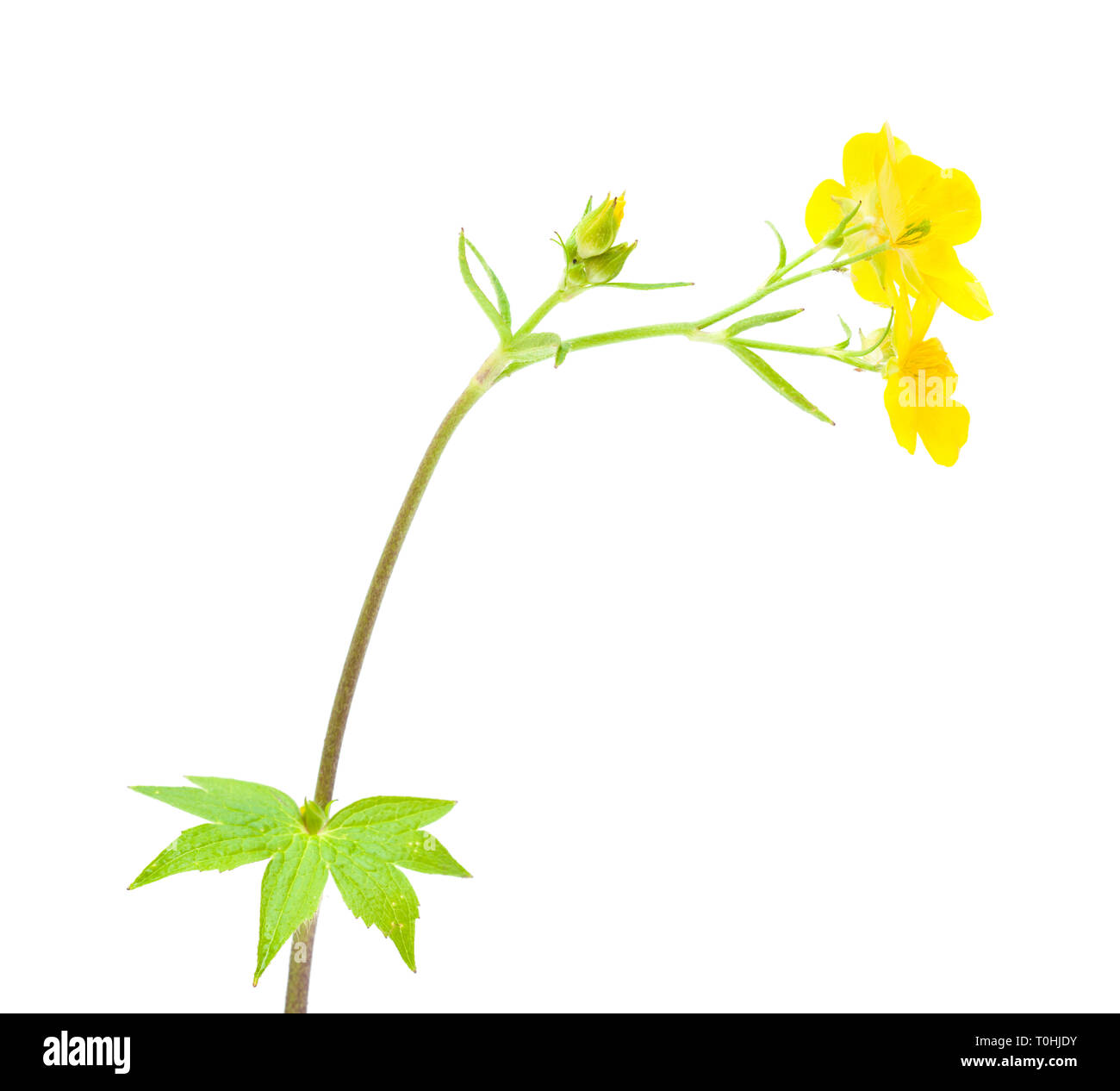 flora of Gran Canaria - Ranunculus cortusifolius, Canary Buttercup Stock Photo