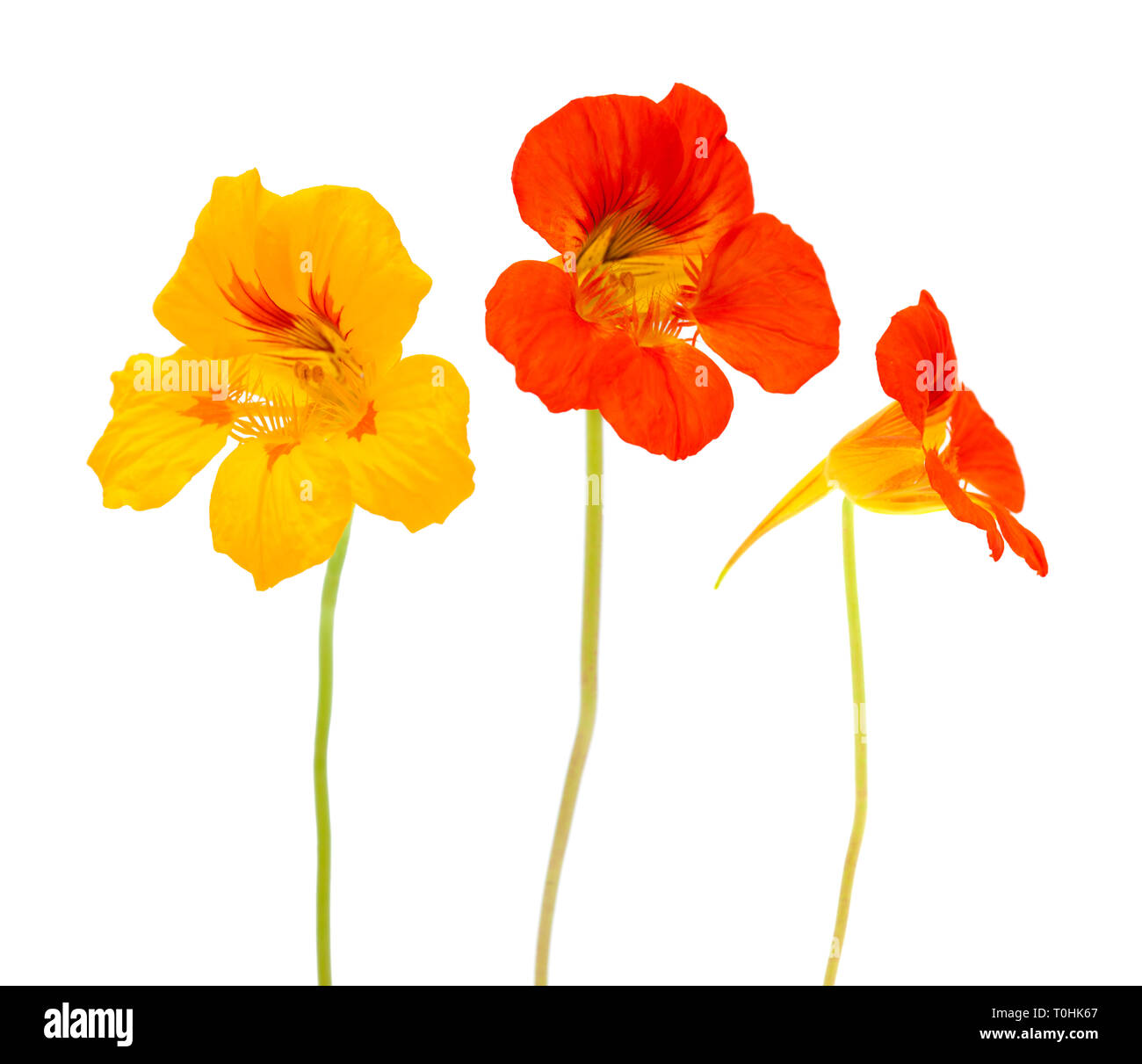 Flora of Gran Canaria - Tropaeolum majus, garden nasturtium isolated on white background Stock Photo