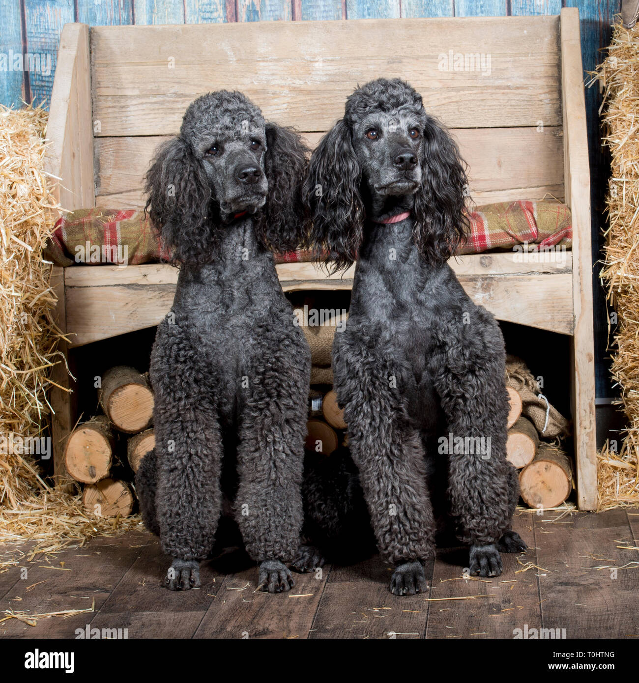 two standard poodles - Stock Image