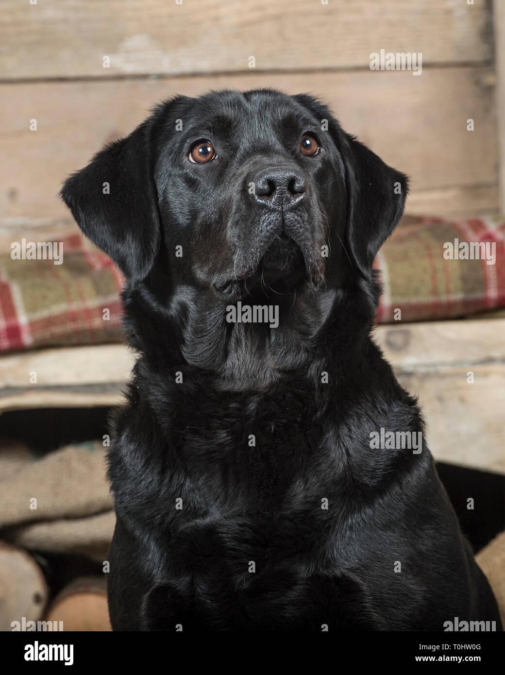 Black Labrador retriever dog - Stock Image