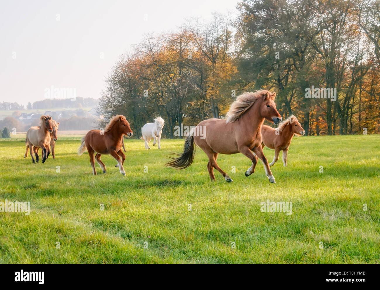 Herd of Icelandic horses, mares with foals, running together at a gallop across a green grass meadow in autumn, Germany - Stock Image