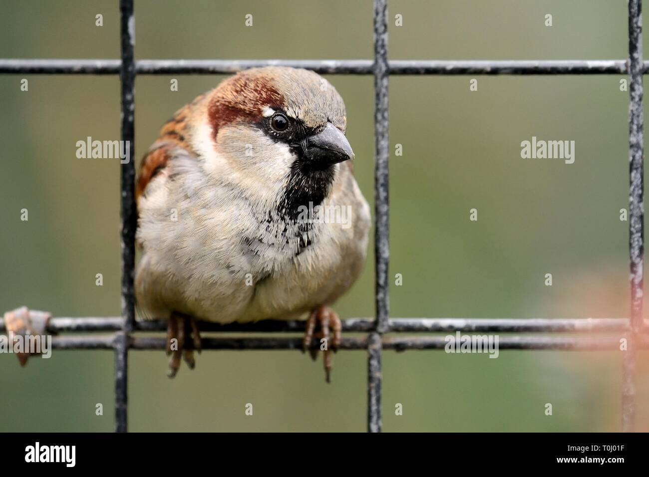 Portrait of a sparrow perching on a wire fence - Stock Image
