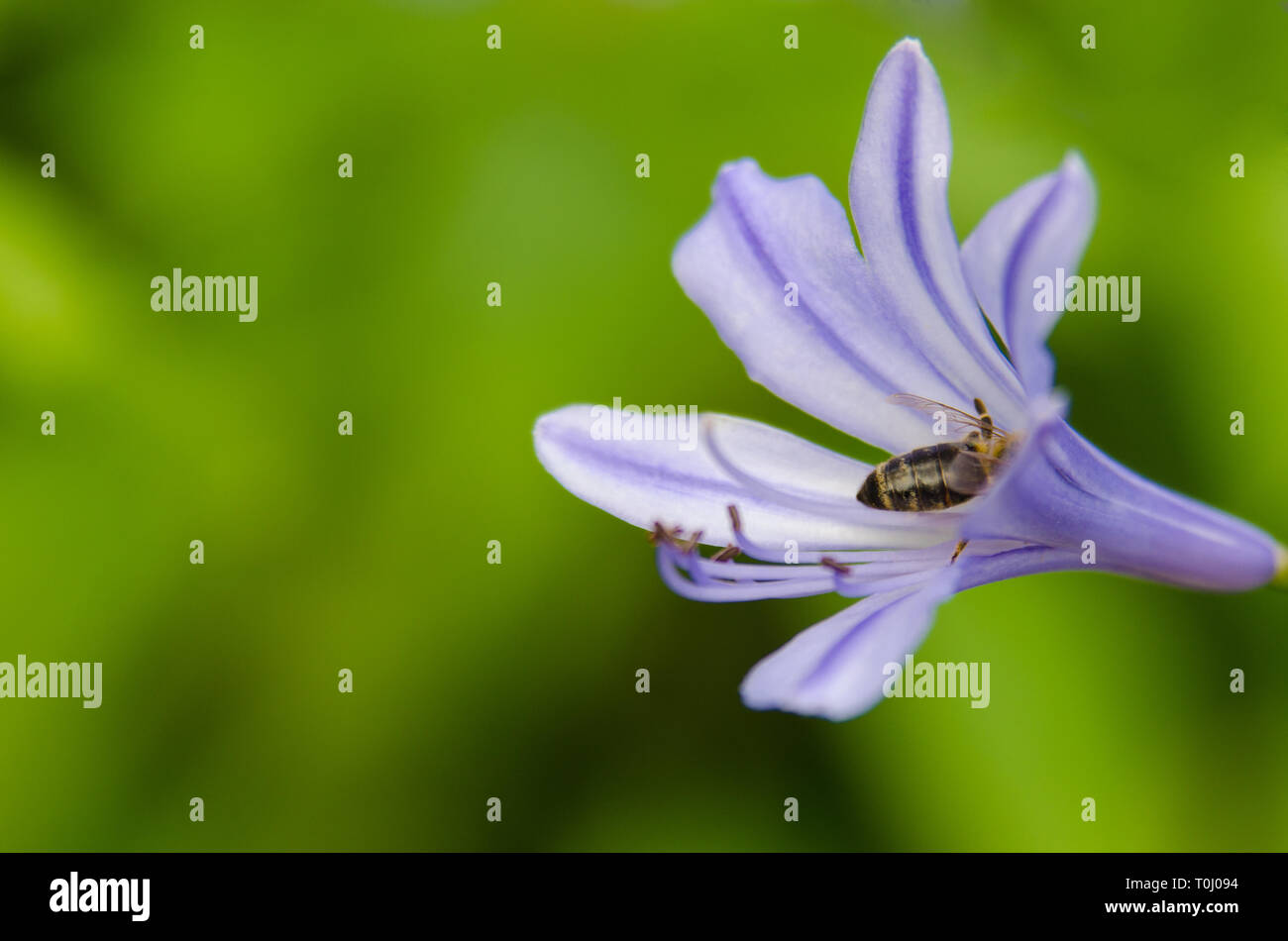 flower bee - Stock Image