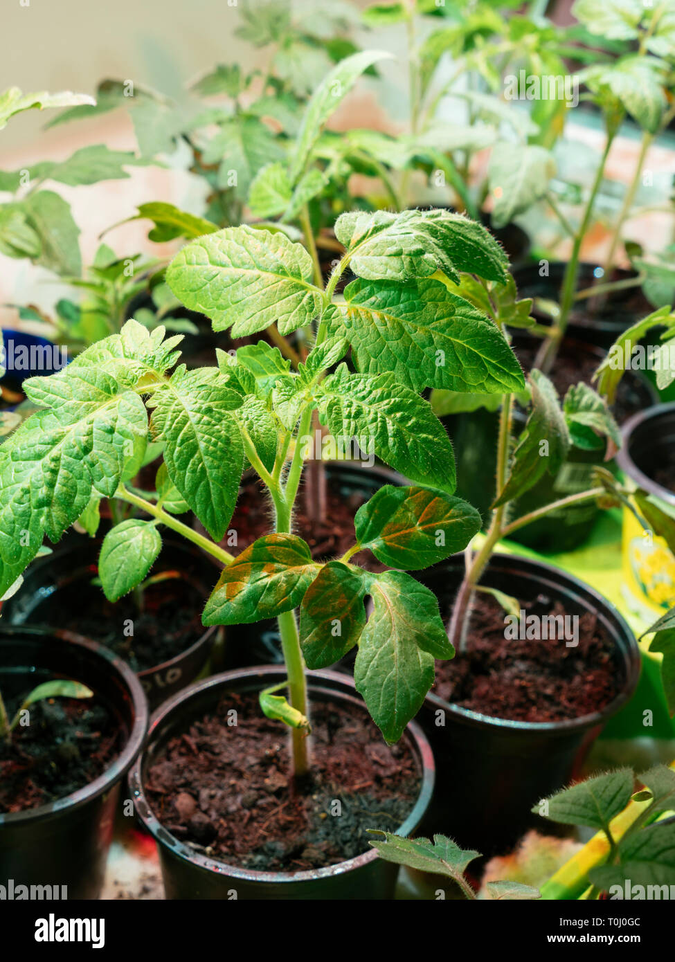 Tomato seedlings growing indoors on a window sill under a grow light. Stock Photo