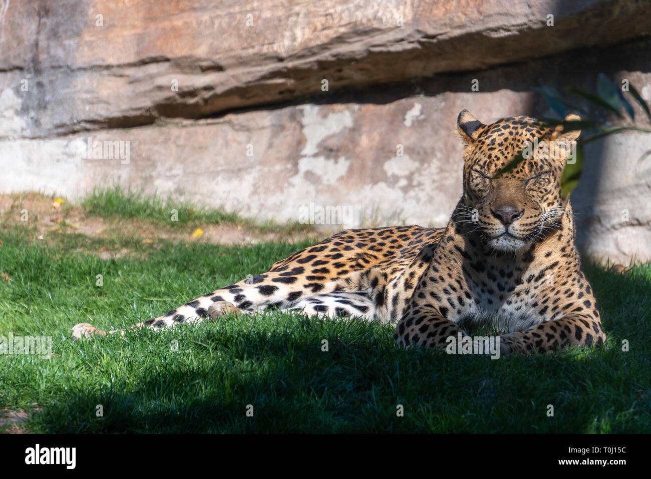 VALENCIA, SPAIN - FEBRUARY 26 : Leopard at the Bioparc in Valencia Spain on February 26, 2019 - Stock Image