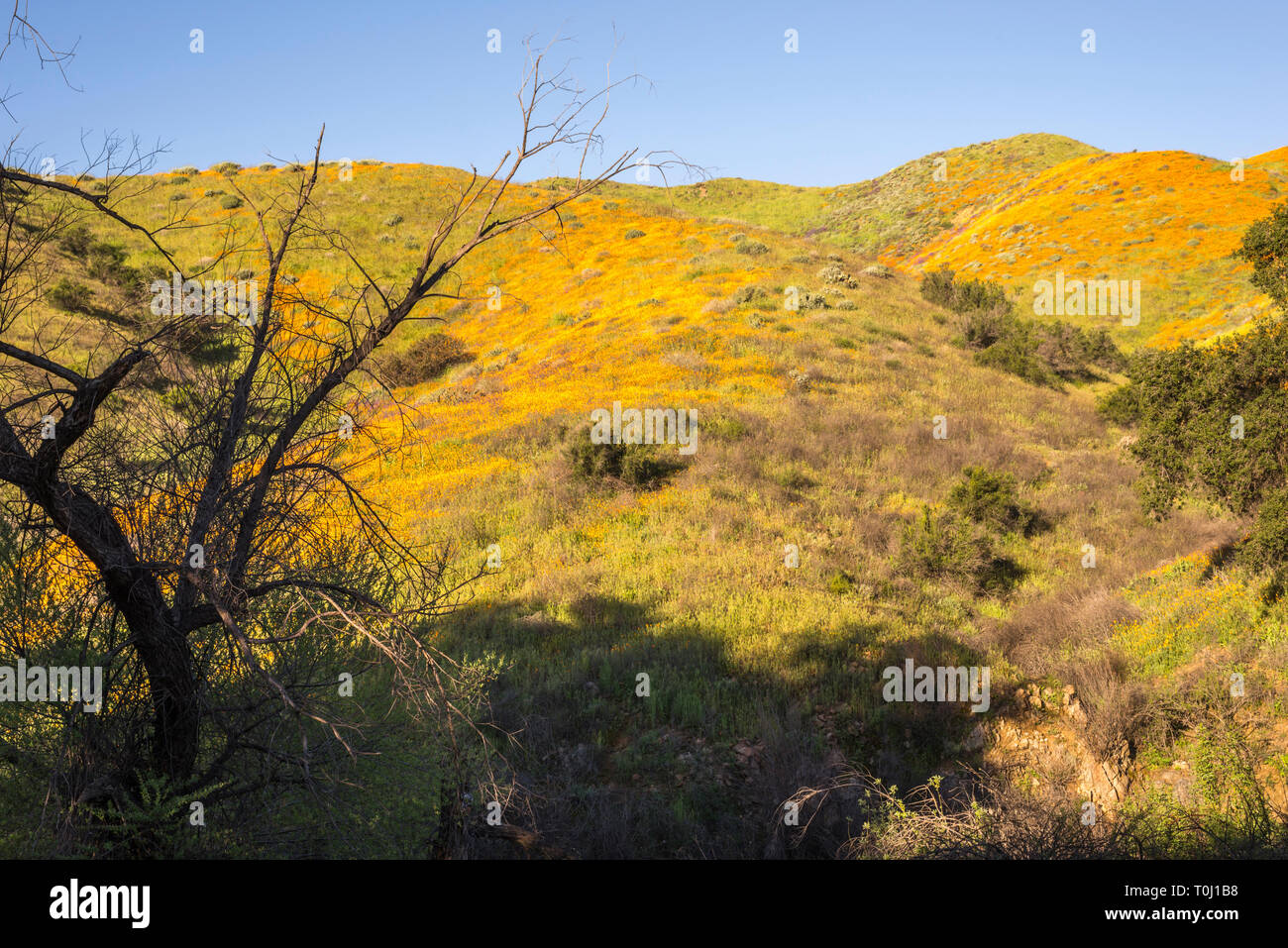Wildflower superbloom in Walker Canyon in the month of March. Lake Elsinore, California, USA. - Stock Image