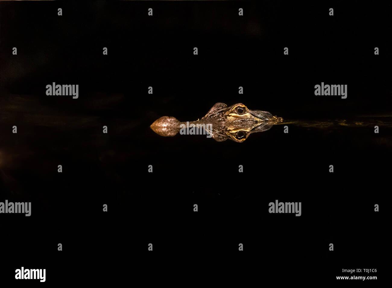 Alligator swimming in dark - Stock Image