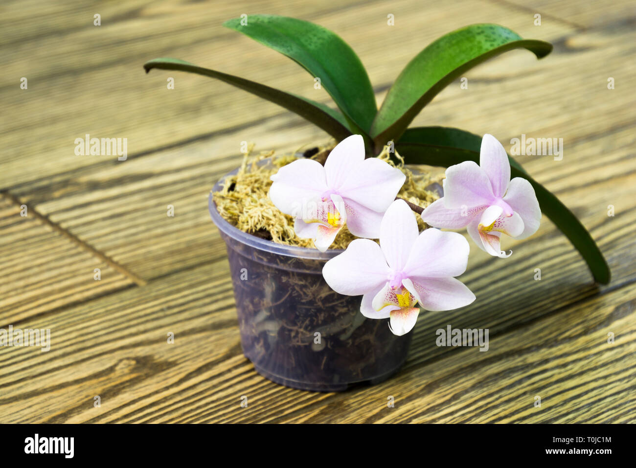 Mini Orchid Stock Photos Mini Orchid Stock Images Alamy