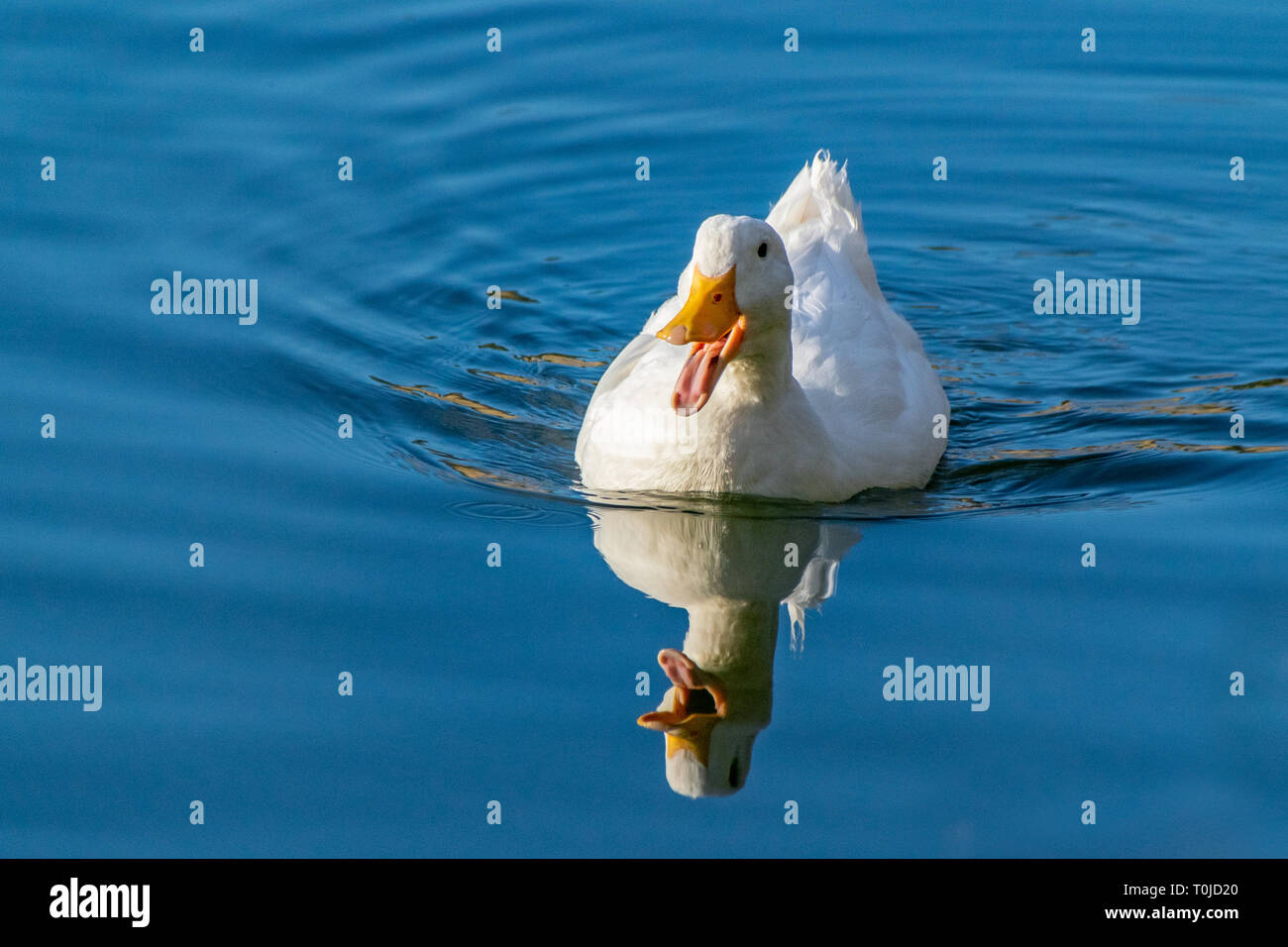 White pekin duck (anas platyrhynchos domesticus) swimming on a still clear pond with reflection in the water in early spring - Stock Image