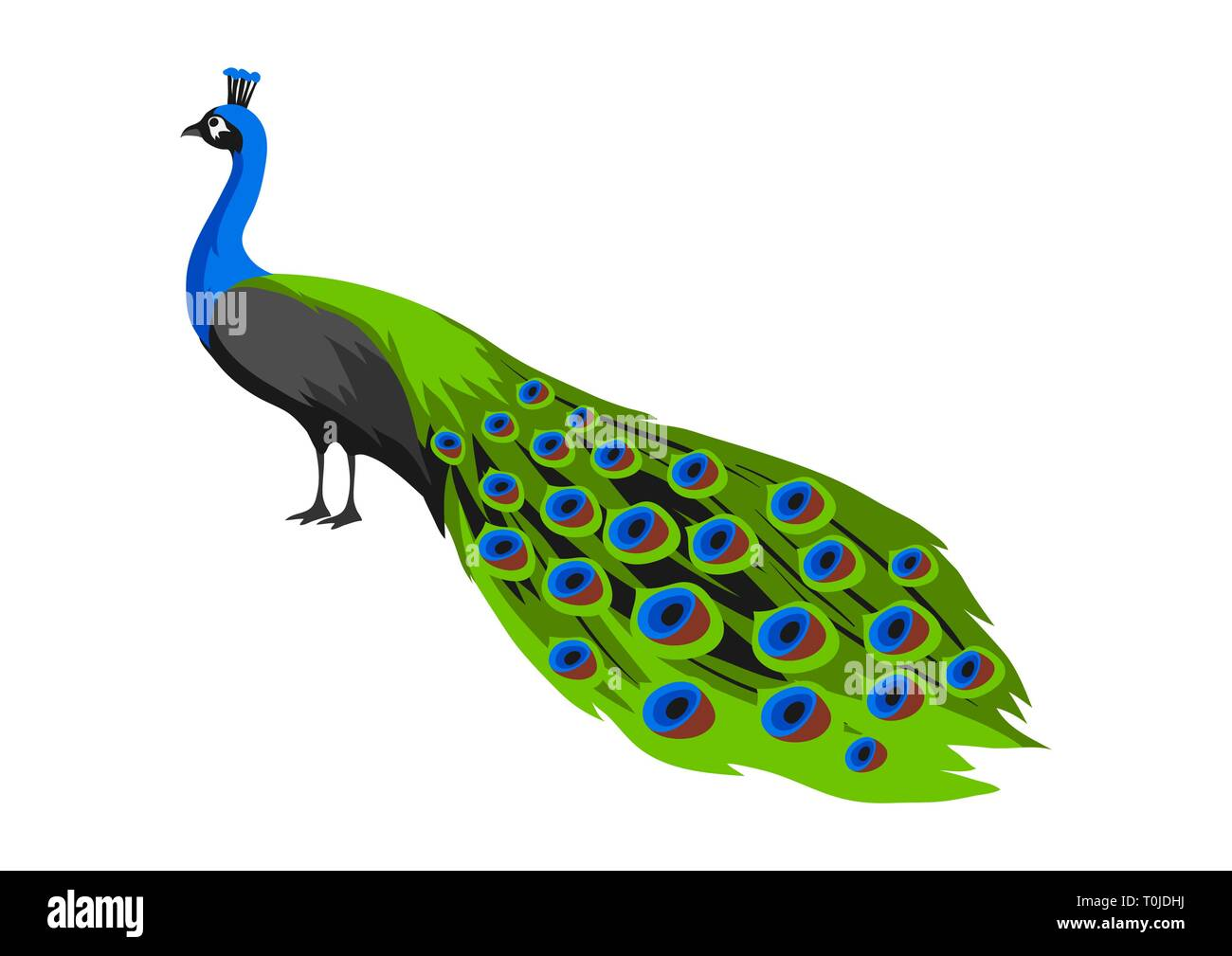 Illustration of peacock. Tropical exotic bird on white background. - Stock Vector