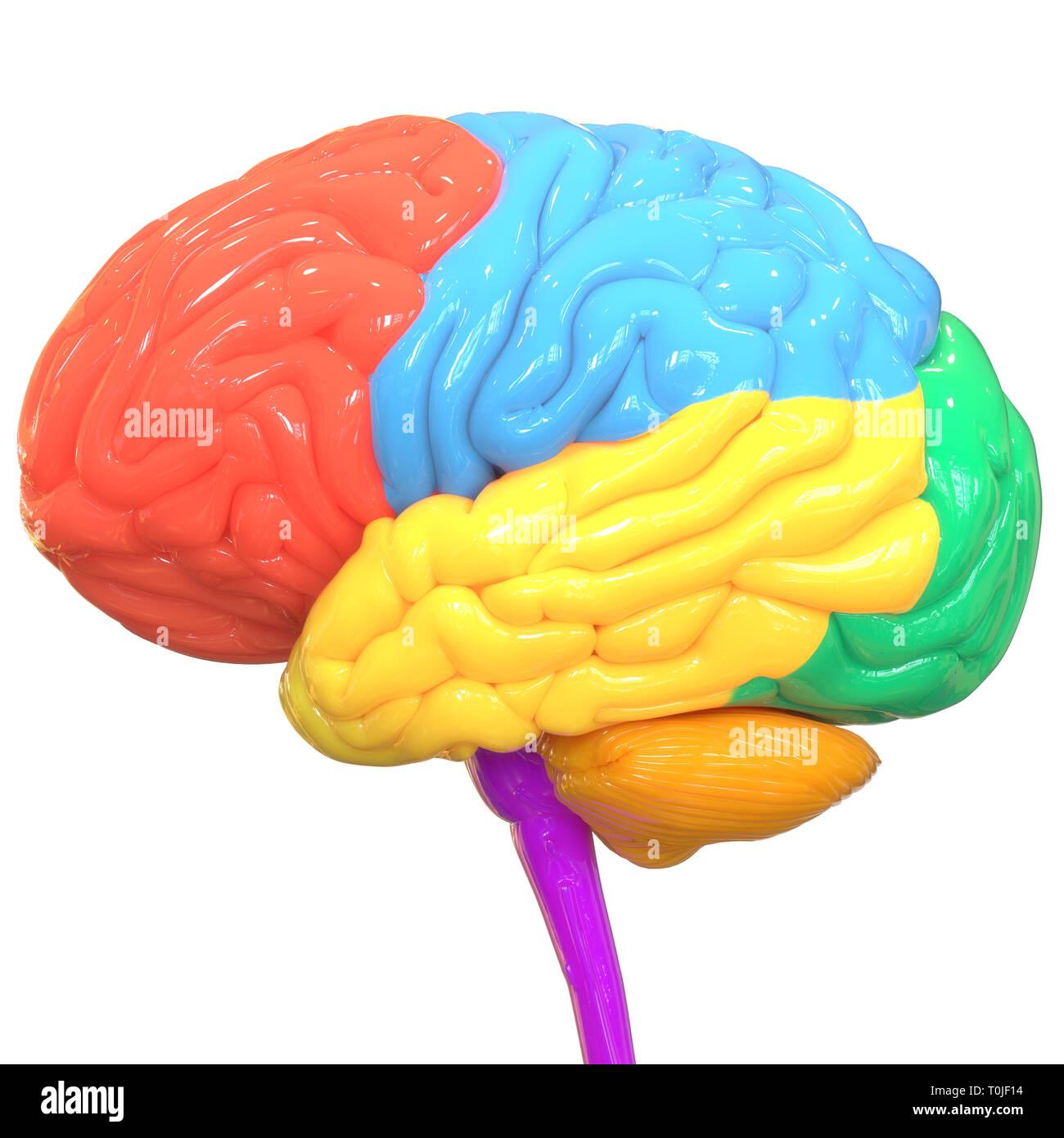 Human Brain Anatomy - Stock Image